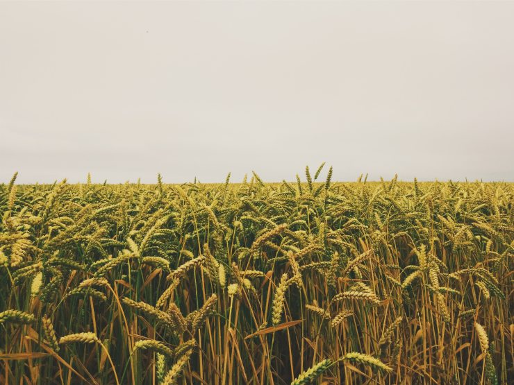 agriculture-cornfield-crops-55766